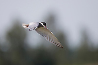 Weißbart-Seeschwalbe, Flug, Flugbild, fliegend, Weißbartseeschwalbe, Seeschwalbe, Chlidonias hybrida, Chlidonias hybridus, Whiskered tern, Seeschwalben, Sternidae, terns, flight, Guifette moustac