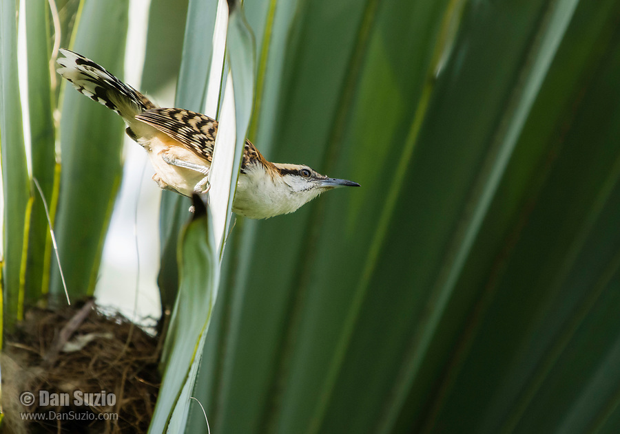Rufous-naped Wren, Campylorhynchus rufinucha, leaves its nest in a palm tree in the gardens of the Hotel Bougainvillea, Santo Domingo de Heredia, Costa Rica