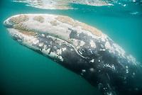 gray whale, Eschrichtius robustus, Scammons Lagoon, Baja California, Mexico, Pacific Ocean