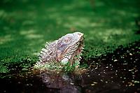 Green leguan, green iguana in water, Iguana iguana, Netherland Antilles, Caribbean, Atlantic, Bonaire, Bonaire, Washington, USA Slagbaai National Park, Pos Mangel