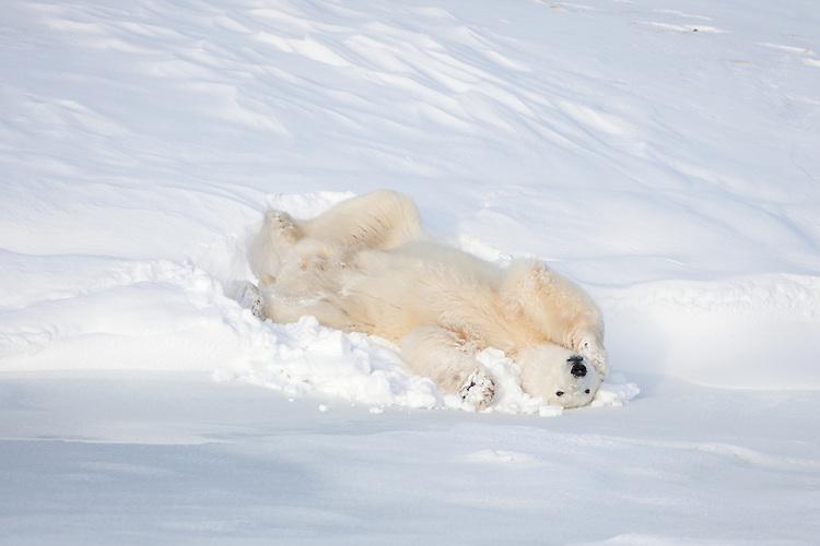 Polar Bear lying on its back in a snow bank