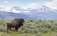 Bison put on a nice show this spring.