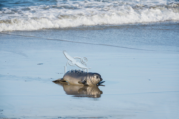 """Northern Elephant Seal (Mirounga angustirostris) pup (often called a """"weaner"""") coming ashore.  Central California coast."""