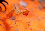 Donald Duck Shrimp , Leander plumosus, Underwater macro marine life images;  Photographed in Tulamben; Liberty Resort; Indonesia.Underwater Macro Photographer on FB 2nd Annual event