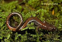 SL12-009z Red-backed Salamander, Plethodon cinereus