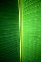 Banana Leaf, Christmas Island, Indian Ocean