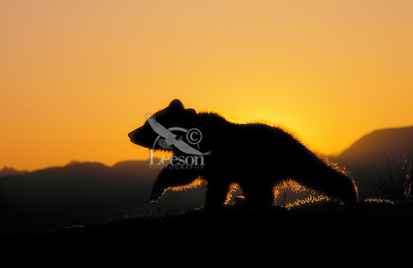 Grizzly Bear Cub, age 3 months, at sunrise..Spring. Rocky Mountains..(Ursus arctos).