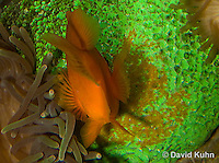 0322-1108  Tomato Clownfish Tending Eggs, Amphiprion frenatus  © David Kuhn/Dwight Kuhn Photography