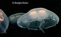 EC10-500z  Moon Jellyfish, swimming medusa showing 4 pinkish gonads, Aurelia aurita