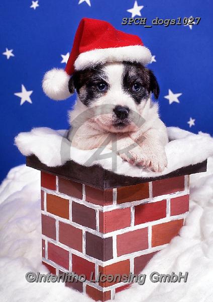 Xavier, CHRISTMAS ANIMALS, WEIHNACHTEN TIERE, NAVIDAD ANIMALES, photos+++++,SPCHDOGS1027,#xa# ,dog
