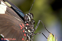 0401-08yy  Close-up of Sara Longwing, Detail of Proboscis Coiled Up, Small Blue Grecian, Heliconius sara, South and Central America © David Kuhn/Dwight Kuhn Photography