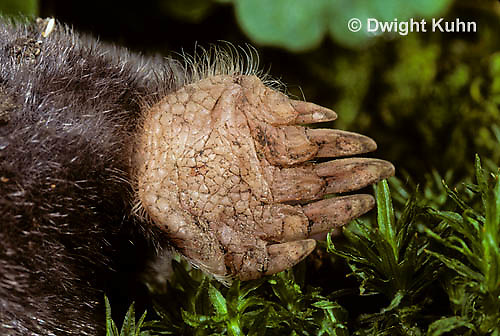 MB25-016z   Hairy-tailed Mole - close-up of front foot used for digging - Parascalops breweri
