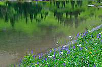 An abstract composition of wildflowers bordering Tipsoo Lake with forest reflection, in Mt. Rainier National Park, Washington State.