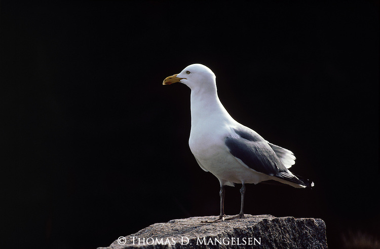 A Herring Gull perches against a dark background on a rock in Maine.