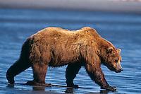 Grizzly Bear walking across beach in Alaska.