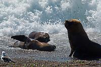 Zuidamerikaanse zeeleeuw  (Otaria flavescens)
