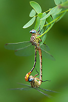334090011 a wild pair of russet-tipped clubtail dragonflies stylurus plagiatus in copula or mating while hanging on a leaf blade near the naba site along the rio grande river in the lower rio grande valley in south texas