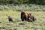 Bear with rare quadruplets by Pattie Walsh