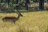 Africa, Botswana, Okavango Delta, Khwai Private Reserve. Impala.