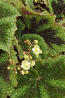 Begonia masoniana in bloom - iron Cross Begonia