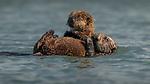 USA, California, Monterey Bay , sea otter (Enhydra lutris)