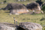 Adult klipspringer (Oreotragus oreotragus) standing on a kopje. Northern Serengeti, Serengeti National Park, Tanzania (early September).