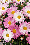 TWINKLE ROSE DAISY, ARGYRANTHEMUM HYBRID