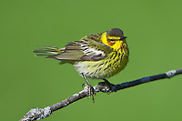Cape May Warbler perched on a branch