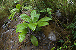 Stream and bank-side vegetation in montane rain forest. Ranomafana National Park, south eastern Madagascar.