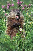Woodchuck or groundhog (Marmota monax) among wildflowers.  June.  Minnesota.