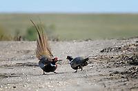 Ring-necked Pheasants Sparring, Ringneck Ranch, Tipton Kansas