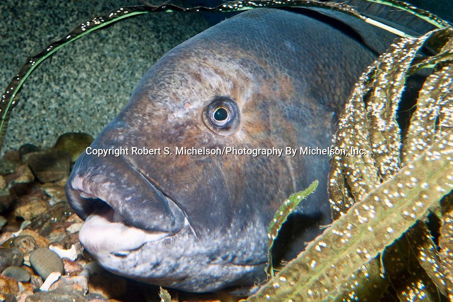 Tautog, or Blackfish, close-up