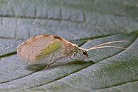 Grüner Taghaft, Hemerobius marginatus, Brauerobius marginatus, Taghafte, Lacewing, Lacewings
