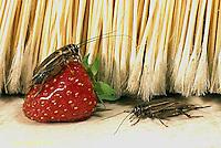 OR10-013a  Cricket - house cricket - Acheta domestica
