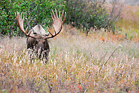 A mature bull moose browses during the fall at Powerline Pass in Chugach State Park.