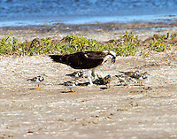 Osprey eating fish on the Laguna Madre shore has attracted the company of a flock of ruddy turnstones