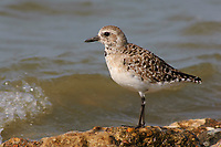 Adult Black-bellied Plover (Pluvialis squatarola) molting from definitive basic (winter) plumage into definitive alternate plumage (breeding). Anahuac NWR, Texas. March.