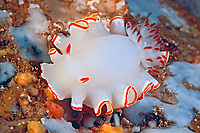 nudibranch, Glossodoris sedna, Walindi, Papua New Guinea, Pacific Ocean
