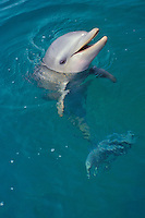Young Bottle-nosed dolphin or Common Bottlenose Dolphin (Tursiops truncatus)