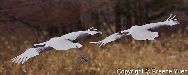 Cranes fly in low, getting ready for a landing at Akan Kokusai Tsuru Center, Hokkaido, Japan, February 2008