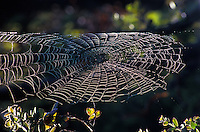Dew illuminates a large spider web at Hawaii Volcanoes National Park on the Big Island of Hawaii.