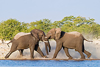 African Bush Elephant (Loxodonta africana) bulls fighting at a waterhole, Etosha National Park, Namibia, Africa
