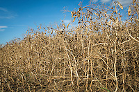 Combinable peas ready for harvest - August, South Lincolnshire; pod; dried pea