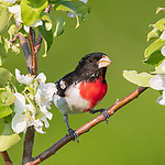 Male rose-breasted grosbeak perched in an apple tree.