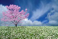 Meadow of wild oxeye dasies with pink dogwoo, Cornus florida, in full bloom Missouri USA