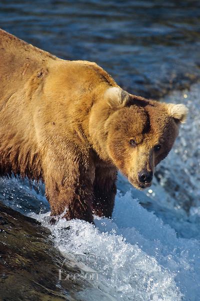 Coastal grizzly or Alaskan brown bear fishing, Brook Falls, Alaska.