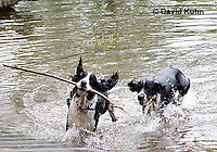 0808-0803  English Springer Spaniels Playing in Water with Stick, Canis lupus familiaris © David Kuhn/Dwight Kuhn Photography.