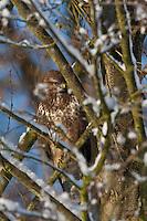 Mäusebussard, Mäuse-Bussard, Bussard lauert zwischen verschneiten Ästen, Buteo buteo, common buzzard