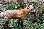 Red fox medium shot standing facing right.