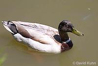 0218-1201  Brown Headed Mallard (Rare Genetic Variation), Anas platyrhynchos  © David Kuhn/Dwight Kuhn Photography